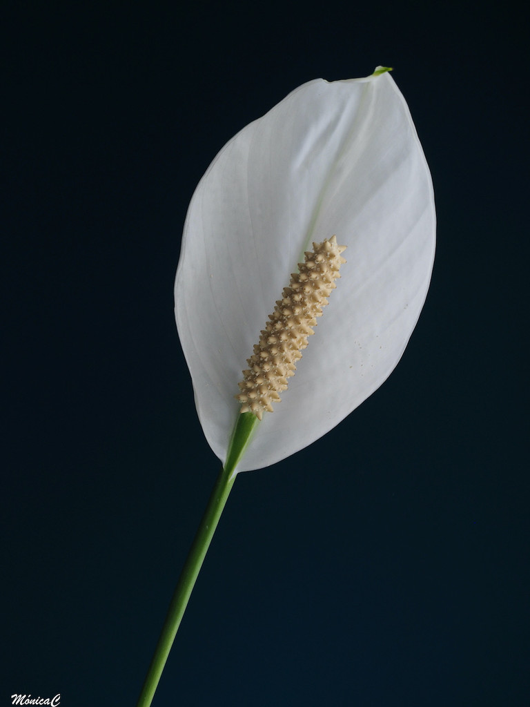 Spathiphyllum by monicac