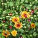 Chrysanthemum by k9photo
