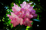 5th Jun 2021 - Abstract Rhododendron