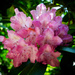 Abstract Rhododendron