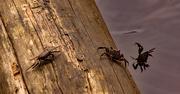 5th Jun 2021 - Crab Duel!