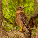 Red Shouldered Hawk on the Search!