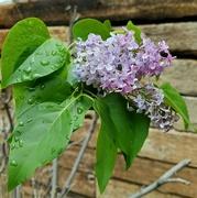 5th Jun 2021 - My Special Lilac Bush