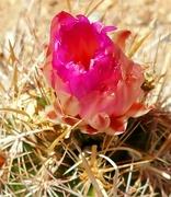 4th Jun 2021 - Cactus Flower