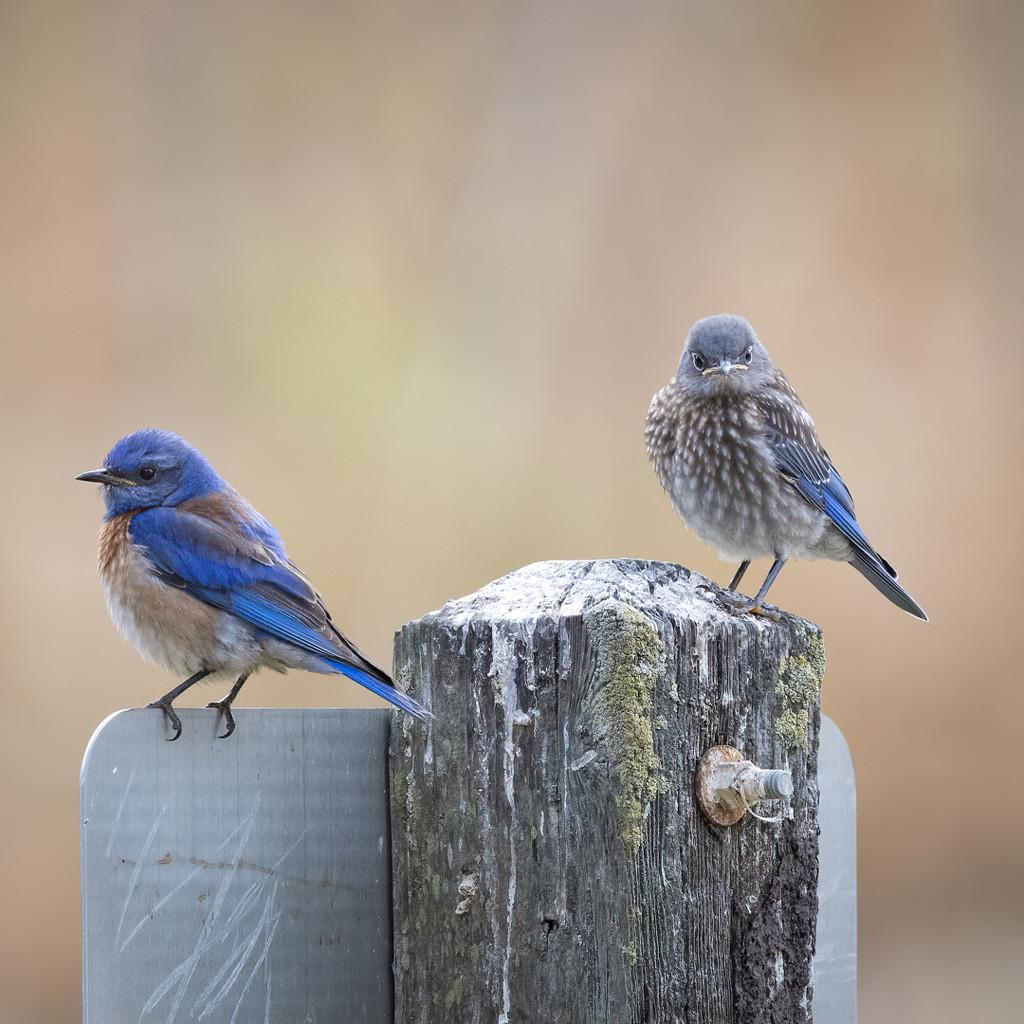 Western Bluebirds by mikegifford