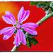 Geranium sanguineum.