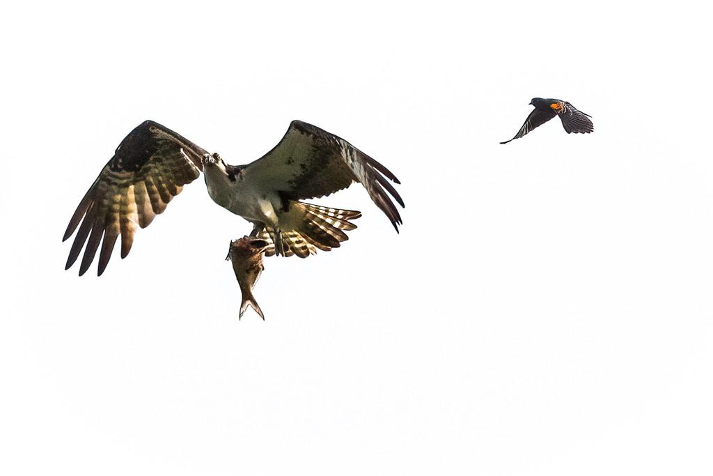 Red-winged Blackbird Wants Osprey to Share by jyokota