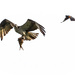Red-winged Blackbird Wants Osprey to Share