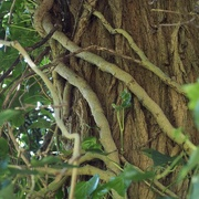 6th Jun 2021 - White Acacia tree with the roots of a very old Ivy