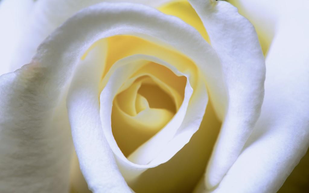 White Rose  by moonbi