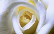 6th Jun 2021 - White Rose
