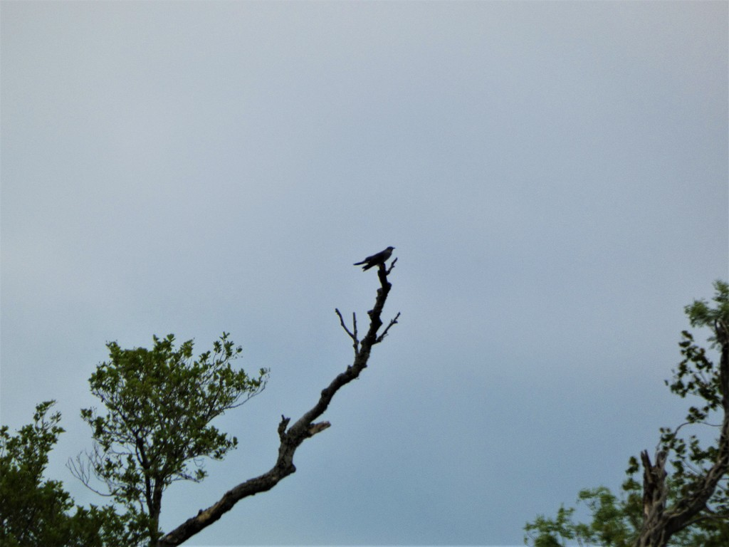 Cuckoo by julienne1