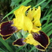 Iris by bruni
