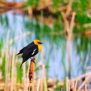 3rd Jun 2021 - Yellow-Headed Blackbird