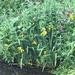 Streamside iris's