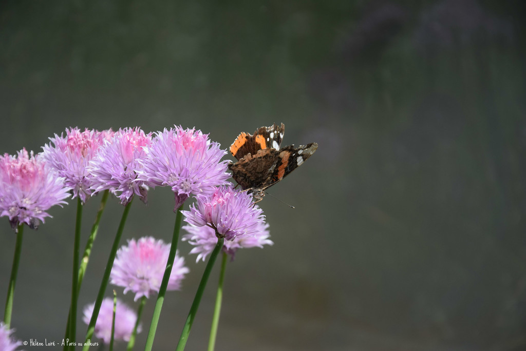 butterfly in chives by parisouailleurs