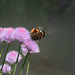butterfly in chives