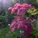 An Acer in our garden.