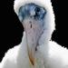 Baby wood stork portrait.
