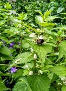 6th Jun 2021 - Bumblebee on white dead-nettle