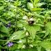 Bumblebee on white dead-nettle