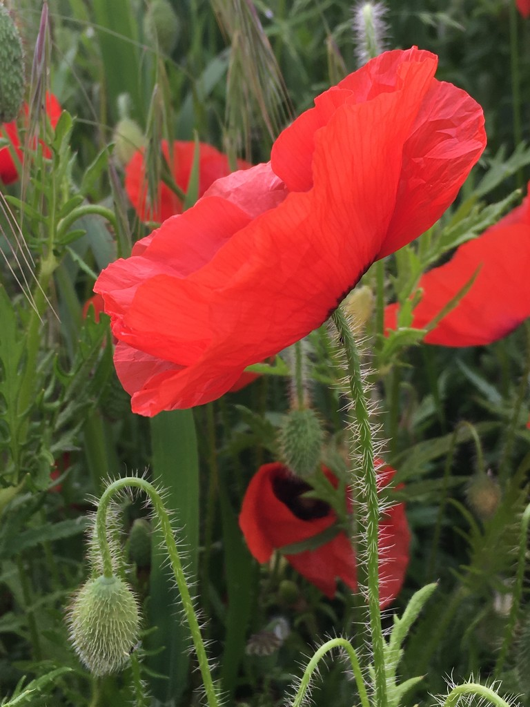 Lovely to see the poppies coming through again by 365anne