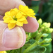 Small potted flower. Maybe Flaming katy (Kalanchoe blossfeldiana)???