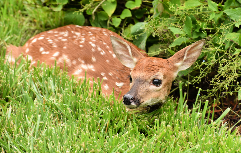 Fawn in the Lawn by alophoto