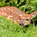 Fawn in the Lawn