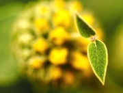 7th Jun 2021 - Lampwick Plant - Phlomis lychnitis