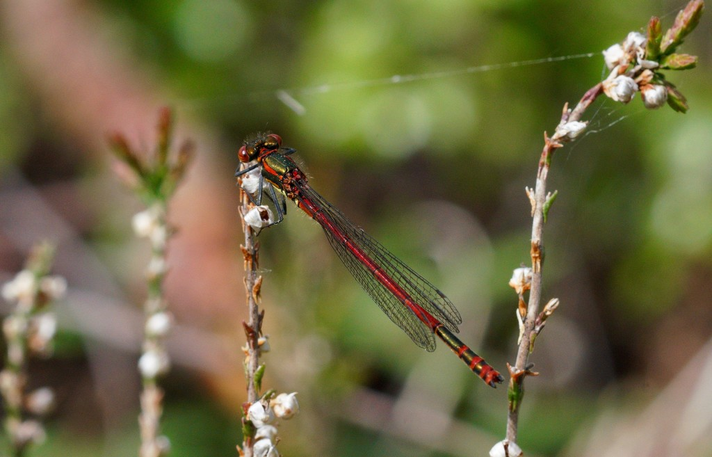 LARGE RED DAMSELFLY by markp