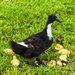Wild Duck Family by k9photo