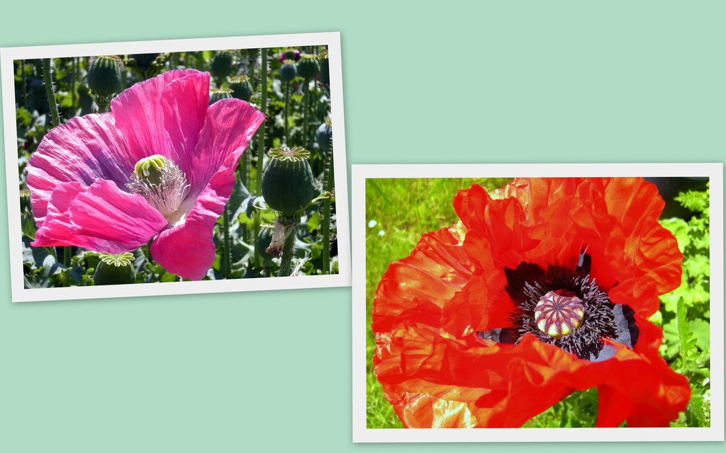 Two pic.`s of Poppies by pyrrhula