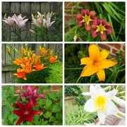 8th Jun 2021 - Lots of Lilies