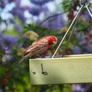 6th Jun 2021 - Red House Finch