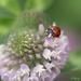 Clover flower with ladybug