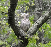 7th Jun 2021 - The hawk is back observing...............