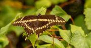 7th Jun 2021 - Giant Swallowtail Butterfly!