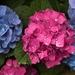 LHG-2884- pink or Blue