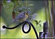 8th Jun 2021 - Another little fledgling