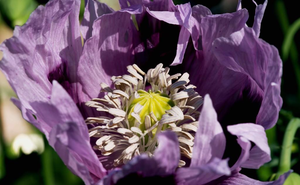 Opium Poppy - Papaver somniferum  by moonbi