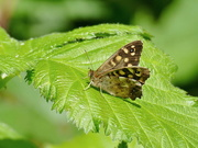 8th Jun 2021 - Speckled Wood