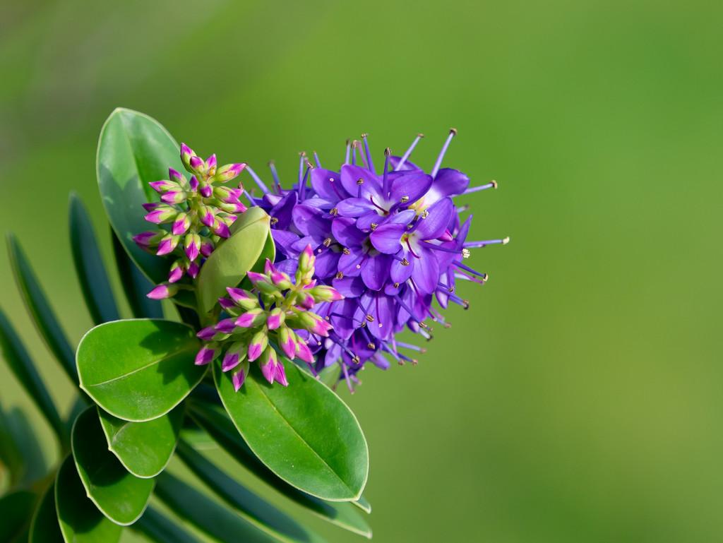Hebe flower likes winter sun by gosia