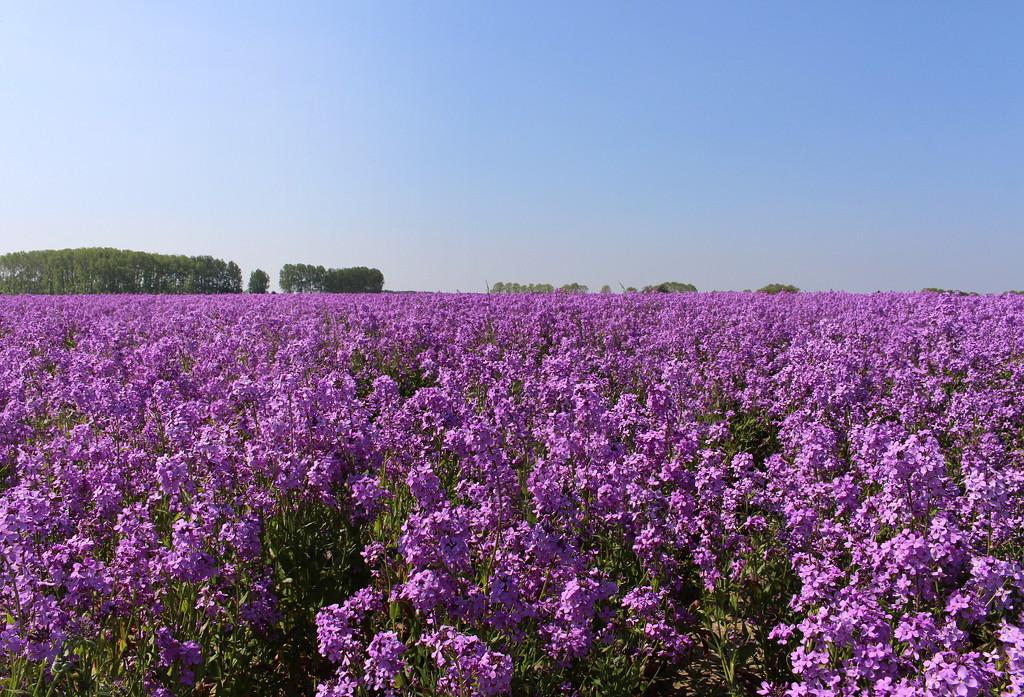 Purple plain by pyrrhula