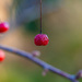 Red Berry by katford