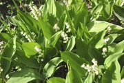 8th Jun 2021 - Lily of the Valley