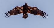 8th Jun 2021 - Young Bald Eagle Flyover!