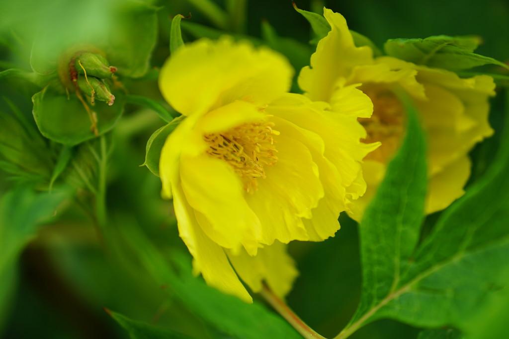 tree peonies and seed pod by quietpurplehaze