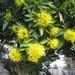 Australian Gum flowers