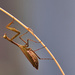 Why are some preying mantis brown?